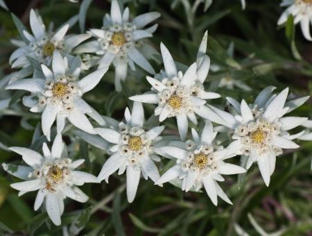 Edelweiss flowers  Shallow depth of field