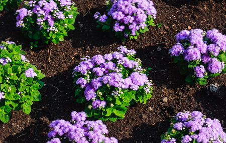 alchemilla: Floss flower Awesome leilani blue or ageratum blue bouque in green background, Alchemilla epipsila