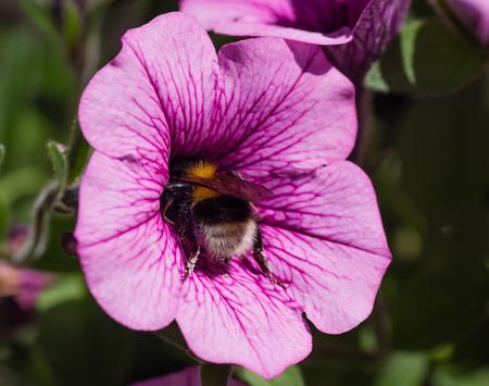 bombus: Bumblebee (Bombus pascuorum) on a flower Grandiflora petunias