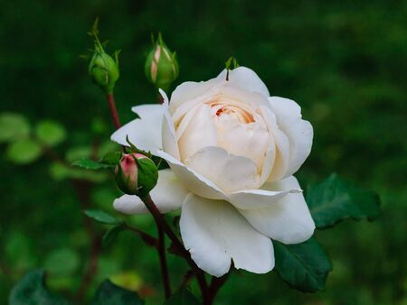 White Rose. Shallow depth of field Stock Photo