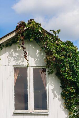 garden eel: Girls (wild) vines growing around the windows on the wall