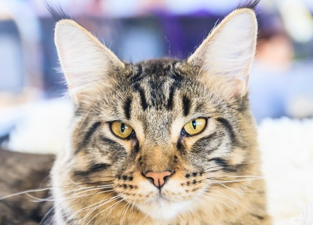 maine cat: Portrait of Maine Coon cat Stock Photo