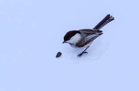 Titmouse, eating sunflower seeds in the winter on snow  Stock Photo