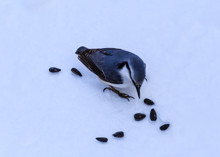Nuthatch feeding on seeds in winter on snow