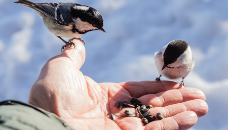 perched: Hand feeding a black-capped chickadee sunflower seeds Stock Photo