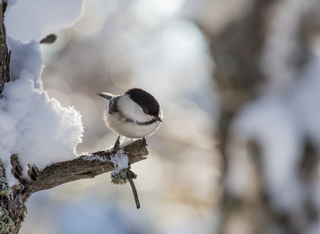 Tit  perched on a frosty tree. Resort Belokurikha. Altai, Russia