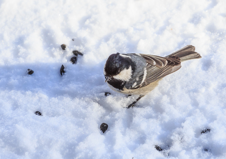 Titmouse, eating sunflower seeds in the winter on snow