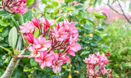 leelawadee: Close up of frangipani flower or Leelawadee flower