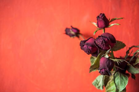 withered: withered rose Stock Photo