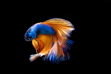 Capture the moving moment of white siamese fighting fish isolated on black background. Betta fish Stock Photo