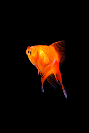 Goldfish in black background