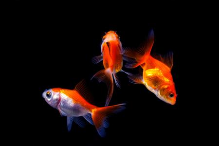 Goldfish in black background