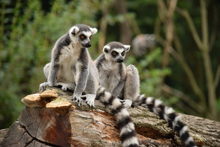 Lemur photo