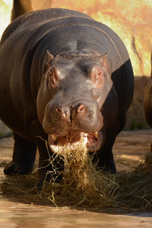 animals amphibious: Hippo Stock Photo