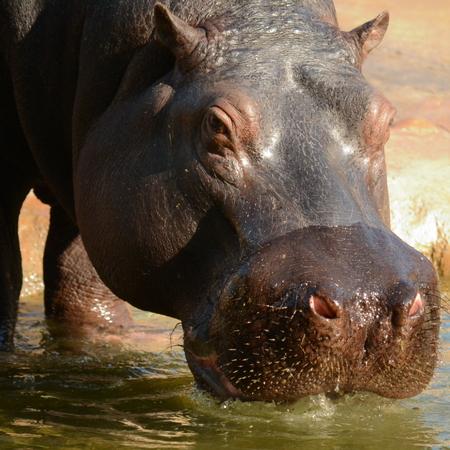 amphibius: Hippo Stock Photo