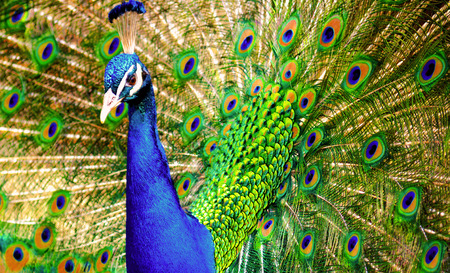 pavo real: Peacock