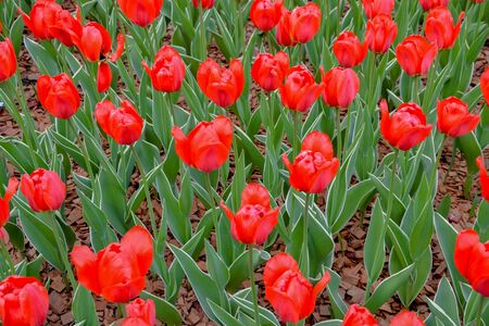Group of red tulips in the park Stok Fotoğraf
