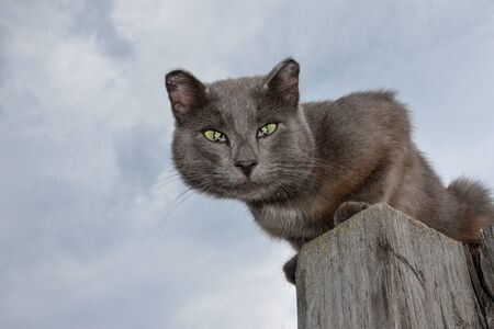 A gray cat with green eyes without the ends of the ears sits on a wooden pole against a gray sky