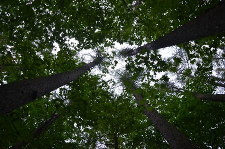 Tall dense green crowns of trees and bright white sky