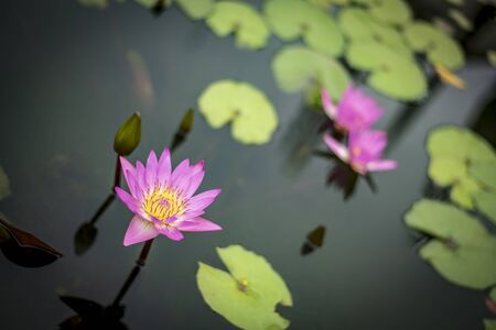 Bright purple lotus in focus in the pond surrounded by green leaves in the water blurred background