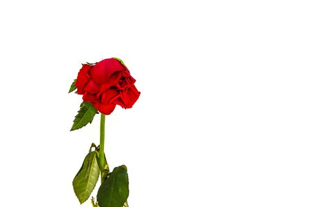 Wilted little Dutch rose isolated on white background.