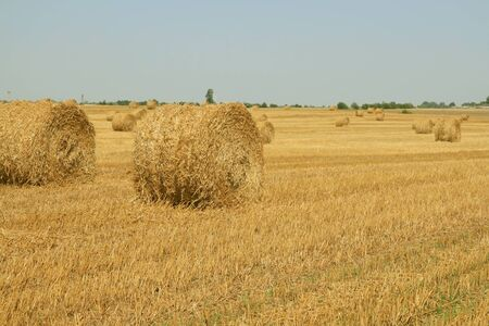 Haycocks on the wheat field in summer day Stock Photo