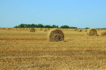Haycocks on the wheat field in summer day photo