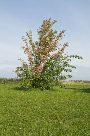 Autumn bush on a green field  photo