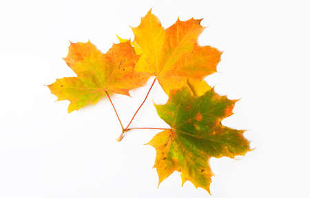Autumn maple leave isolated on white background for design artworks  photo