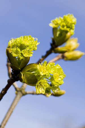 Branch of a blossoming maple in the spring photo