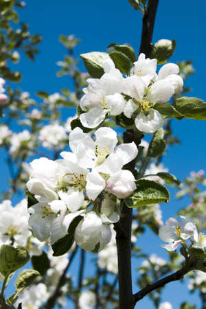 bearer: Branch apple-tree with beautiful flowers on blue sky background