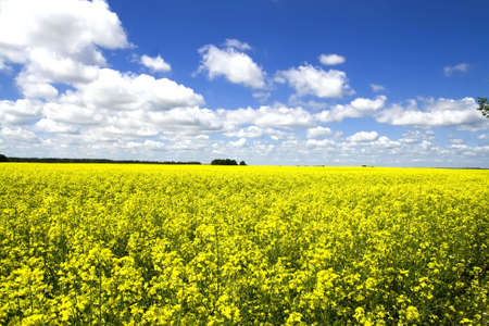 Yellow canola field in Lithuania - Europe