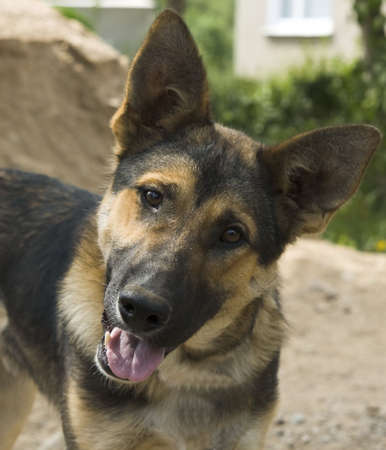 Portrait German Shepherd dog at the garden photo