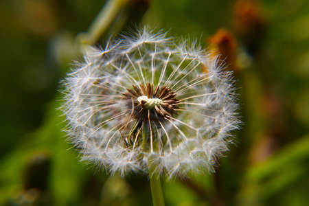 bracts: Dandelion bracts close-up: is a globe of fine filaments that are usually distributed by wind
