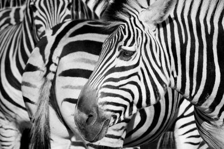 zebra head: Zebra in Riga zoo.
