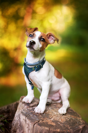 guardianship: Puppy Jack Russell sitting on a stump in the summer park Stock Photo