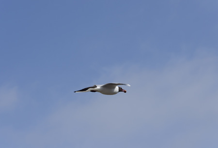red beak: Black headed gull flying with food in its red beak on a bright morning Stock Photo