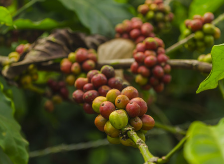 coffea: ripe coffee pods waiting to be picked for roasting