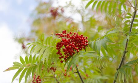 european rowan: Rowan berries are very common in Sweden
