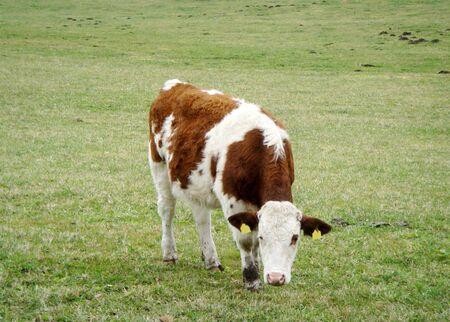 Vaca comiendo pasto  Foto de archivo - 6724151