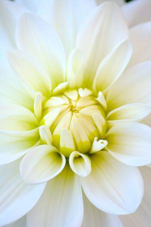 Closeup of white dahlia Stock Photo