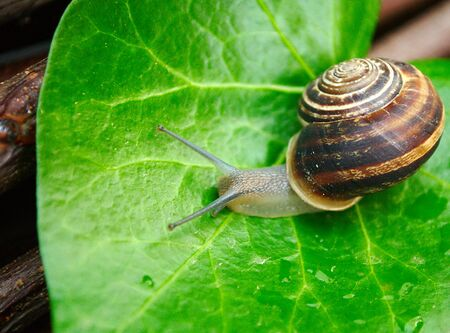 mucus: Snail on a green leaf Stock Photo