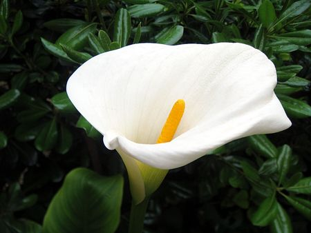 White calla lily on green leaves natural background