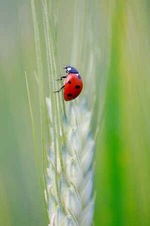 Ladybug on green wheat photo