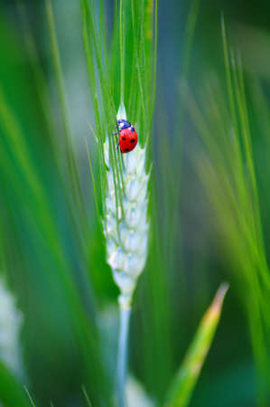 Ladybug on green wheat Stock Photo - 7210350