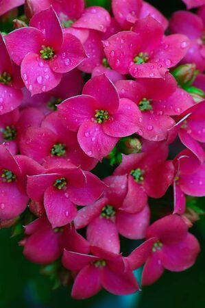 flores fucsia: Bellas flores fuchsia