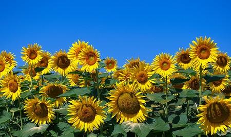 Sunflowers against the blue sky photo