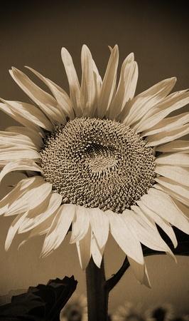 Vintage portrait of sunflower on paper
