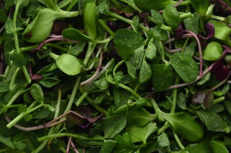 Wet microgreen close-up. Healthy food. Homegrown Produce. Natural Vitamin Charge. Greens background. Healthy natural food for quarantine isolation at home. Home grown healthy food. Vegetarian food.