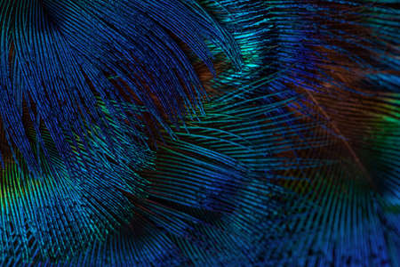 Dark blue feathers background. Exotic texture feathers background, closeup. Stockfoto